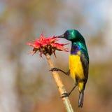 Kołnierzasty Sunbird kwiat Zdjęcie Royalty Free