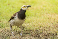 Kołnierzasty szpaczka ptak (Sturnus nigricollis) Obraz Stock