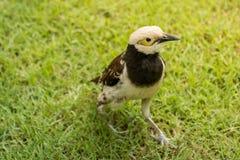 Kołnierzasty szpaczka ptak (Sturnus nigricollis) Zdjęcie Royalty Free