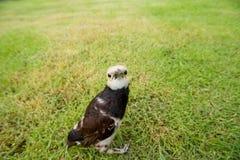 Kołnierzasty szpaczka ptak (Sturnus nigricollis) Obraz Royalty Free