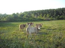 Ko och cornfield royaltyfri foto