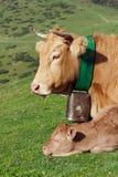 Ko och henne kalv Arkivbild