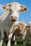 Ko och kalv Arkivfoton