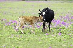 Ko och kalv Royaltyfria Bilder