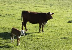 Ko och kalv Fotografering för Bildbyråer
