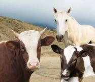 Ko och kalv och häst Arkivfoton