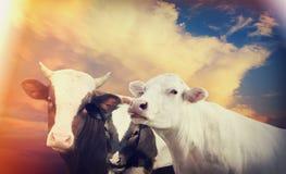 Ko och kalv och tjur Royaltyfria Foton