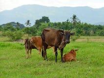 Ko och kalv på grönt fält. Royaltyfri Fotografi