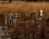 Ko och kalv på kanten av liv arkivfoton