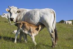 Ko och kalv som diar i ett fält Royaltyfria Bilder