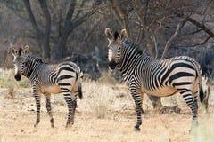 Ko och kattunge - Hartmann Mountain Zebra Royaltyfria Foton