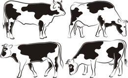 Ko och tjur Arkivfoton