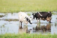 Ko och tjur i äng Royaltyfria Foton