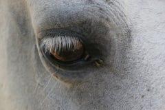 koń oko Obraz Royalty Free