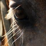 koń oko Zdjęcie Stock
