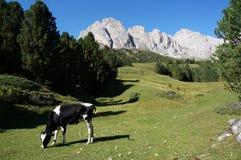 Ko på äng i södra Tyrol Arkivfoto