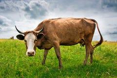 Ko på ängen Arkivfoto