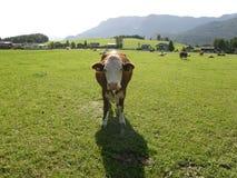 Ko på ängen i Österrike Arkivfoto