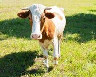 Ko på ängen i solig dag för sommar Royaltyfri Fotografi