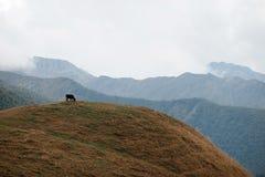 Ko på bakgrunden av ett berglandskap Arkivbild