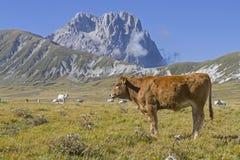 Ko på den Campo Imperatoren hålan Abruzzen royaltyfri fotografi