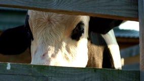 Ko på djur lantgård Slut som mjölkar upp kon på mejerilantgården som ser kameran stock video