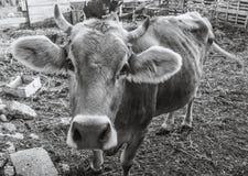 Ko på en lantgård Arkivbild
