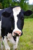 Ko på en sätta in Arkivfoto