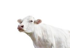Ko på en vit bakgrund Fotografering för Bildbyråer