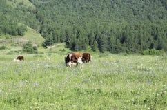 Ko på fält Arkivbild