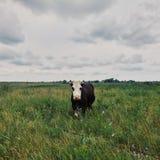 Ko på fält i by Arkivbild