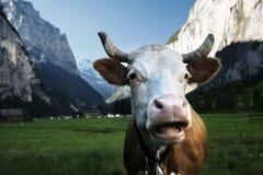 Ko på fjällängar 2500 ovanför höjdjungfraunivå meters regionhavet switzerland Arkivfoto