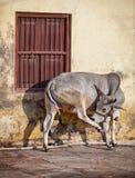 Ko på gatan av den indiska staden - Udaipur Royaltyfri Fotografi