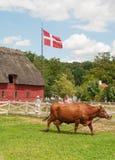 Ko på gräs Arkivbild