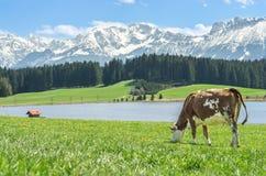 Ko på grönt gräs på sjökusten och alpina berg Arkivfoto