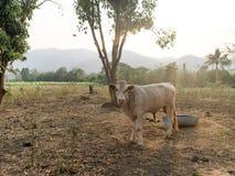 Ko på lantgård Royaltyfria Foton