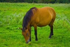 koń pastwiskowy Obraz Stock