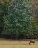 Koń Pod jesieni drzewami Obrazy Royalty Free