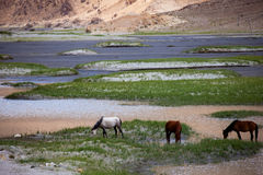 Koń przy Pangong jeziorem w Ladakh Obrazy Stock