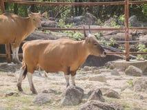 Ko röda tjurar, banteng Royaltyfria Foton