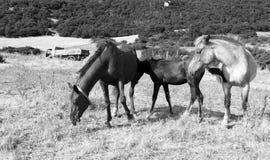 koń rodziny Zdjęcie Stock