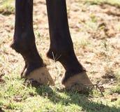 Końscy ` s kopyta Zdjęcie Royalty Free