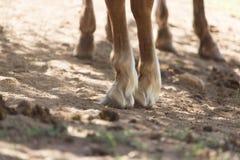Końscy ` s kopyta Zdjęcia Stock