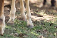 Końscy ` s kopyta Fotografia Stock