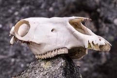 Końska czaszka na skale w górach Zdjęcie Stock