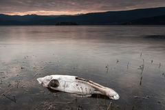 Końska czaszka w jeziorze Obraz Stock