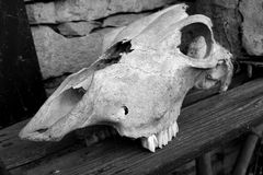 końska czaszki Obraz Royalty Free