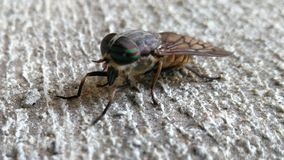 Końska komarnica Zdjęcia Stock