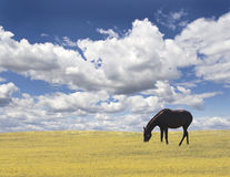 końska natura Fotografia Stock