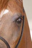 Końska twarz Fotografia Royalty Free